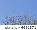 木蓮 もくれん はくもくれんの写真 6691371