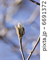 もくれん はくもくれん 白木蓮の写真 6691372