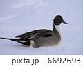 オナガガモ 鴨 渡り鳥の写真 6692693
