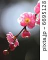 枝垂れ梅 紅梅 シダレウメの写真 6695128