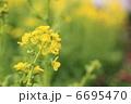 菜ばな ナバナ 菜の花の写真 6695470
