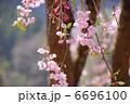 春の花 シダレザクラ さくらの写真 6696100