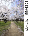 染井吉野桜の並木 6696305