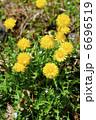 蒲公英 たんぽぽ タンポポの写真 6696519