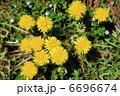 蒲公英 たんぽぽ タンポポの写真 6696674