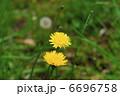 蒲公英 たんぽぽ タンポポの写真 6696758