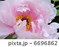 牡丹 ボタン 花の写真 6696862