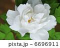 牡丹 ボタン 花の写真 6696911