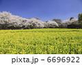 菜の花畑と桜 6696922
