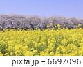 菜の花畑と桜 6697096