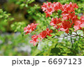 ヤマツツジ お花 躑躅の写真 6697123