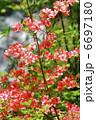 ヤマツツジ お花 躑躅の写真 6697180