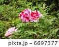 牡丹 花 植物の写真 6697377