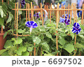 朝顔市 お花 フラワーの写真 6697502