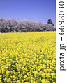 菜の花畑と桜 6698030