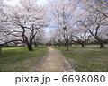 染井吉野桜の並木 6698080