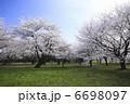 染井吉野桜の並木 6698097