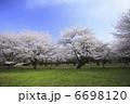 染井吉野桜の並木 6698120
