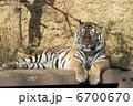 虎のリラックスタイム  6700670