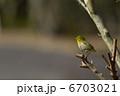 梅の木 目白 めじろの写真 6703021