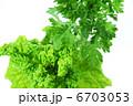 シュンギク 菜花 食用菊の写真 6703053