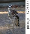 ルシンダ 石千鳥 オーストラリアイシチドリの写真 6705654