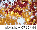 イロハモミジ 葉 植物の写真 6713444