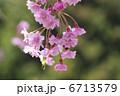 さくら 枝垂れ桜 しだれ桜の写真 6713579