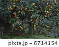 蜜柑 蜜柑の木 みかんの木の写真 6714154
