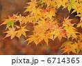 イロハモミジ 葉 植物の写真 6714365
