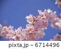 枝垂れ桜 さくら 花の写真 6714496