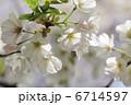 オオシマザクラ 大島桜 さくらの写真 6714597