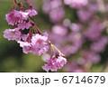 さくら 枝垂れ桜 しだれ桜の写真 6714679