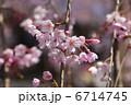 桜 6714745