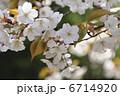 ヤマザクラ 山桜 さくらの写真 6714920