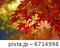 イロハモミジ 葉 植物の写真 6714998