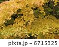 イロハモミジ 葉 植物の写真 6715325