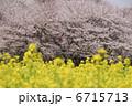 春の花 さくら ナノハナの写真 6715713
