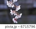 さくら 枝垂れ桜 しだれ桜の写真 6715796