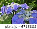 6月 西洋アジサイ カルディナールの写真 6716888