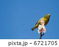 梅の木 目白 めじろの写真 6721705