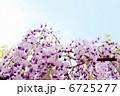 フジ ふじ 藤の花の写真 6725277