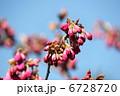 さくら カンヒザクラ 寒緋桜の写真 6728720