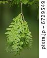 皀莢 サイカチ Gleditsia japonica 6729549