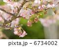 河津桜 カワヅザクラ かわづざくらの写真 6734002