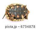 かめ カメ リクガメの写真 6734878