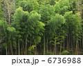 竹藪 竹やぶ タケの写真 6736988