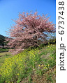 カワヅザクラ 桜 サクラの写真 6737438