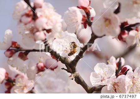 杏子の花とミツバチ 6737497