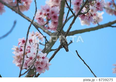 ハチドリと桜 6739275